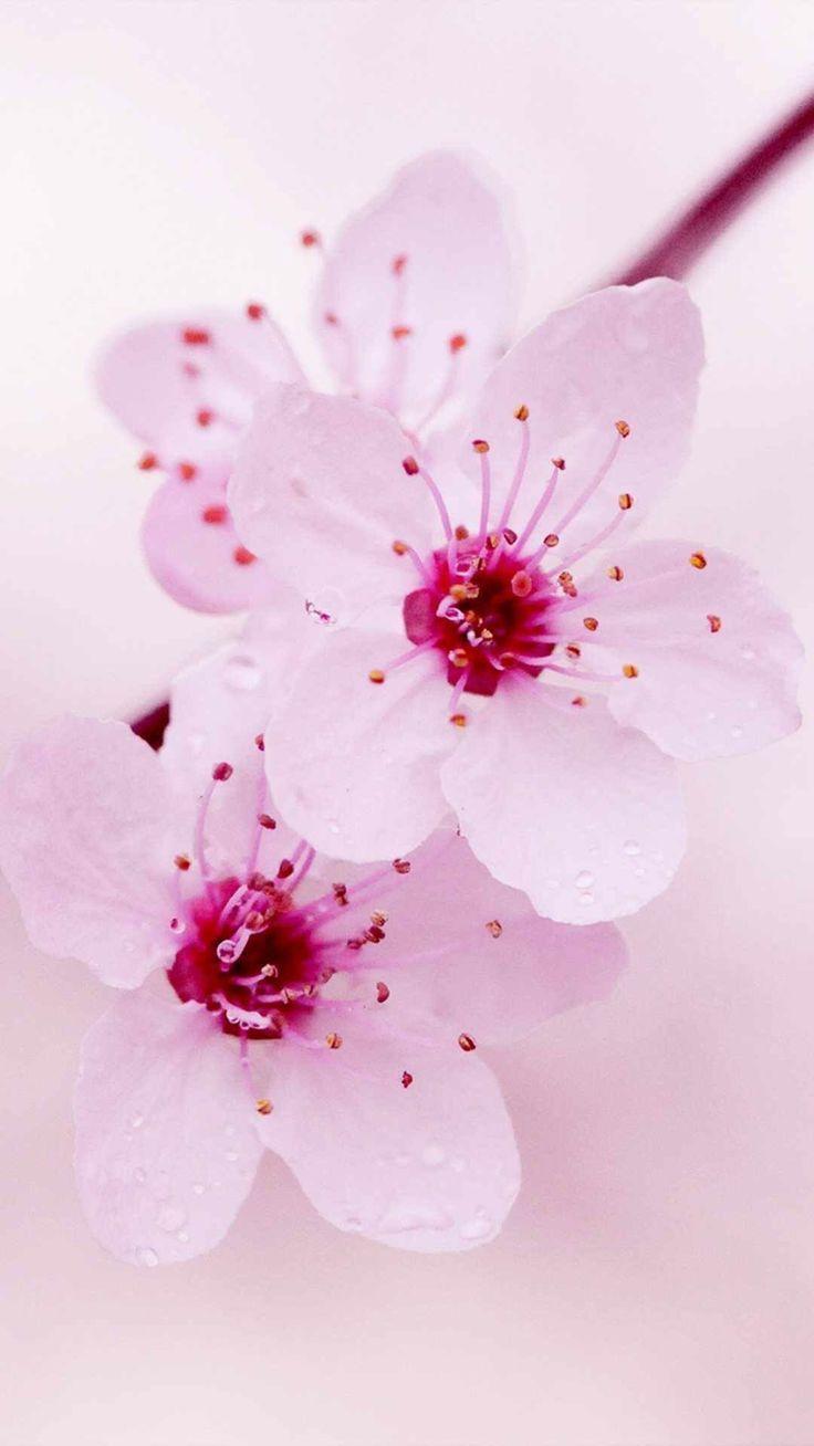 Cherry blossoms wallpaper – #blossoms #Cherry #che…