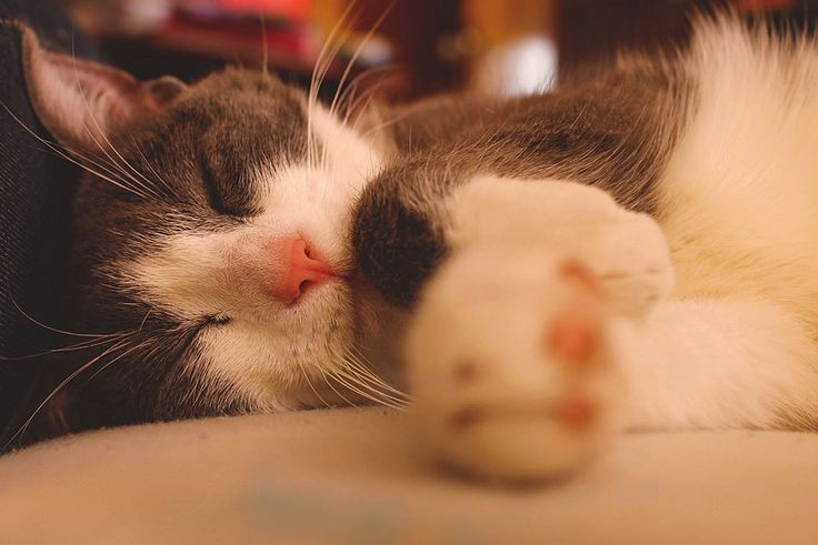 Dreams cat
