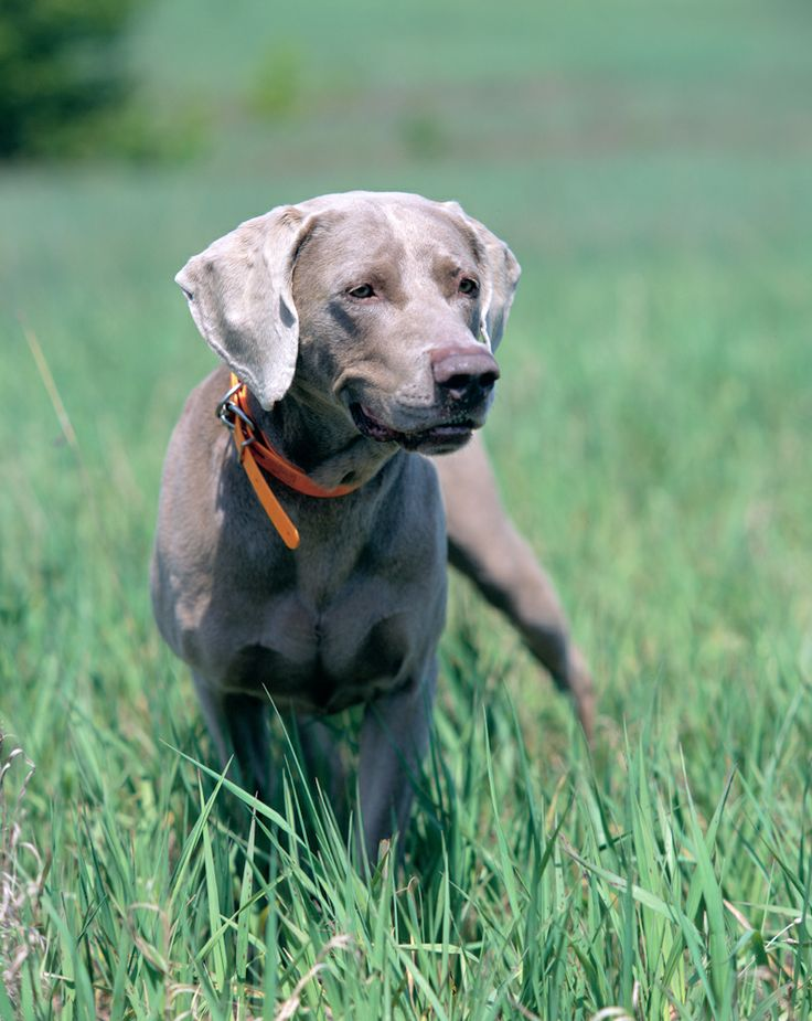 1000+ images about Weimaraner's 2 on Pinterest | Pets ...