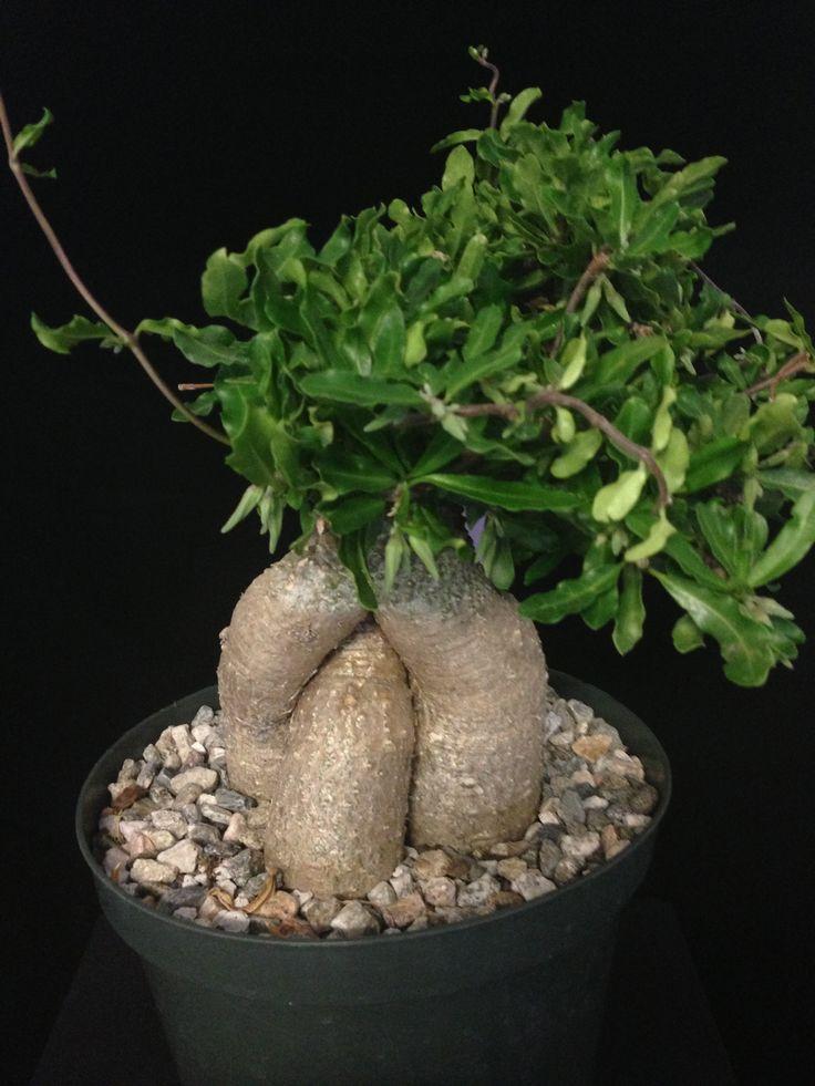 37 Best Fockea Edulis Images On Pinterest Succulents