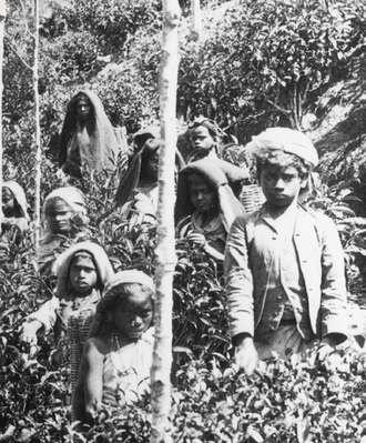 Coolie children plucking tea, Ceylon, 1903