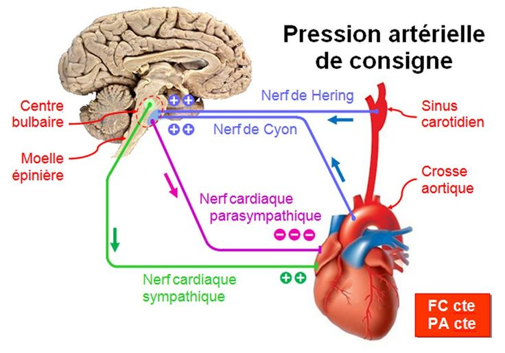 coeur anatomie - Recherche Google
