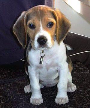 not much cuter than a beagle puppy!