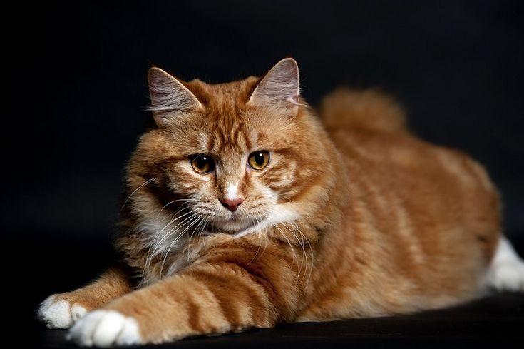 Порода кошек курильский бобтейл (30 фото)   Красивые кошки ...