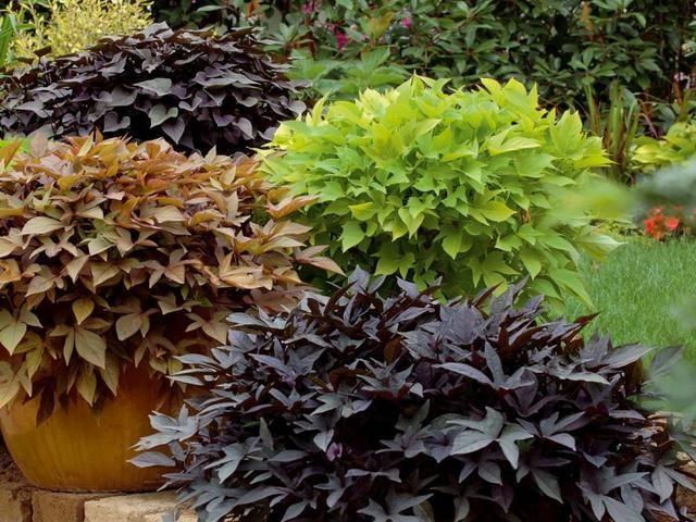 Wilce Atrakcyjne Rosliny O Ozdobnych Lisciach Na Balkony Tarasy I Rabaty Balcony Plants Balcony Flowers Perfect Plants