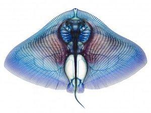 ご存知ですか?透明骨格標本骨格標本の画像、まとめて見ました。