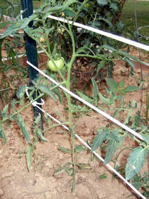 GardenDesk: How Do You Support Your Tomato Plants? (Florida weave and hanging