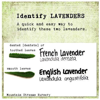 Identify Lavenders