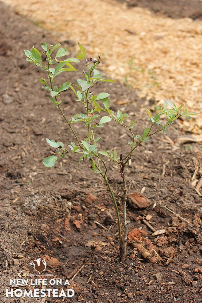 Planting blueberry bushes (the right way!)