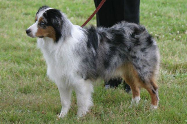Miniature American Shepherd. They are members of the herding group. They are great herders and trackers. They stand at 13-18 inches at the shoulder and weigh about 15-35 pounds.