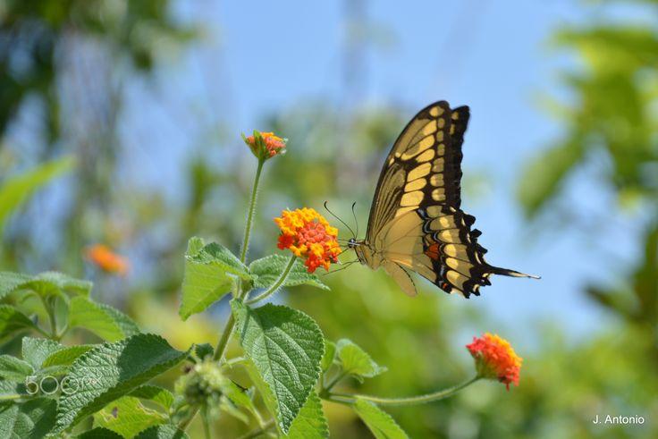 Papilio Machaon - Foto tirada em ambiente livre em Niterói (RJ) - Brasil ........................................................... Photo taken at free environment in Niterói (RJ) - Brazil