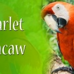 Scarlet Macaw: The Flying Beauty