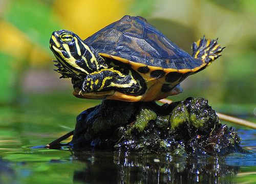 red ear slider! this is the kind of turtles i had. aw :)( i love when I see my turtle doing this under the sun/UV lamp)