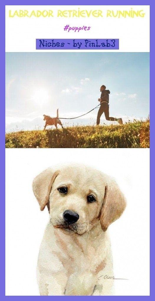 Pin Auf Labrador Retriever