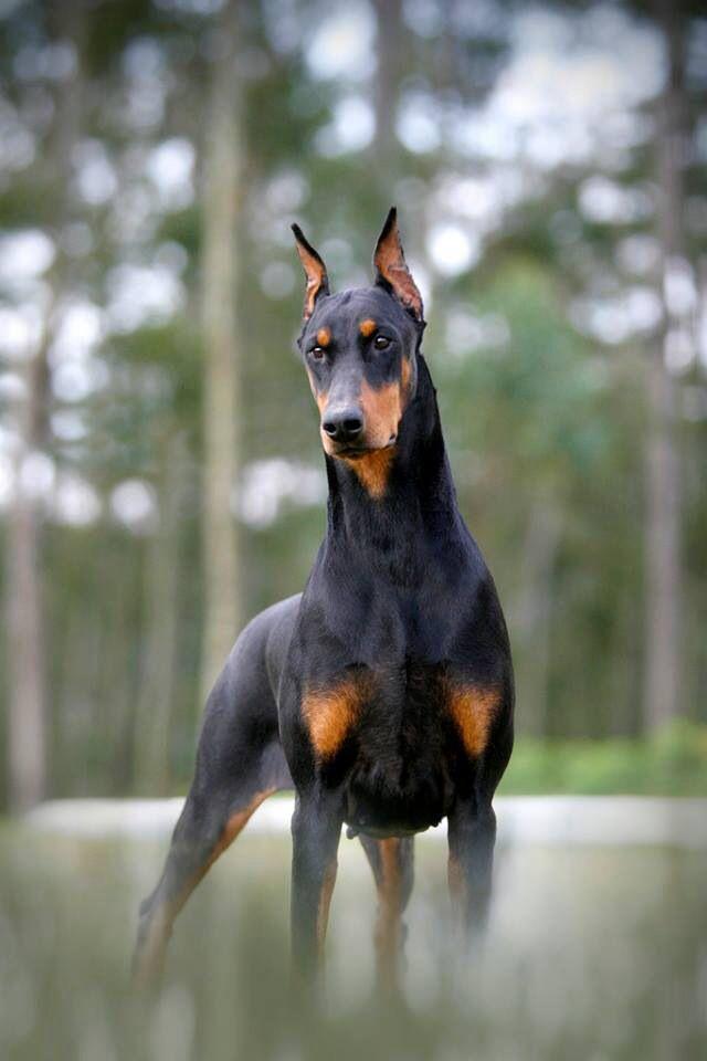 25 best chien races ideas on pinterest races de chiots races de chiens mignons and races de. Black Bedroom Furniture Sets. Home Design Ideas