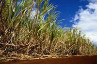 How to Store Raw Sugar Cane Stalks   eHow