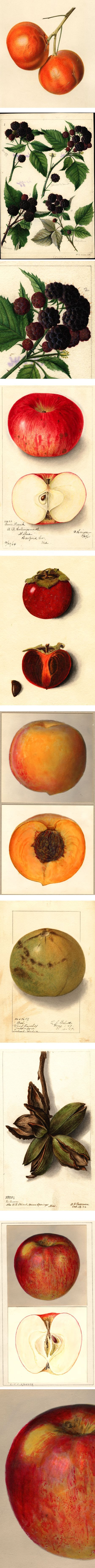 USDA Pomological Watercolor Digital Collection: Charles Steadman, William Henry Prestle, Bertha Heiges, M. Strange, Harriet L. Thompson, Ellen Isham Schutt, Deborah Griscom Passmore, L.C.C. Krieger