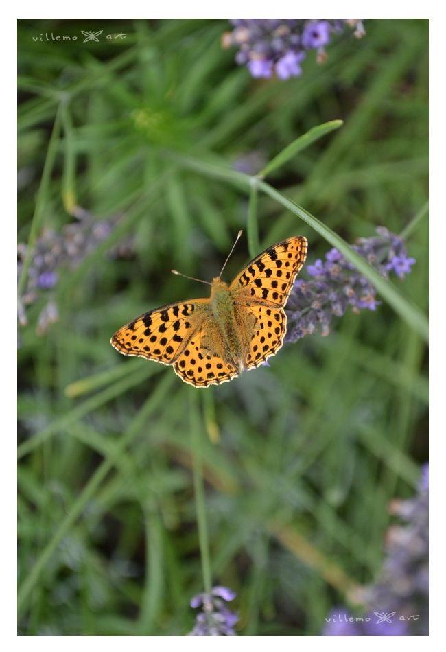 butterfly on my lavender field