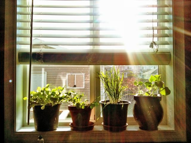 How to Grow Vegetables Indoors Tips for growing vegetables in indoor containers during winter or summer. Which vegetables do best and how to care for them.