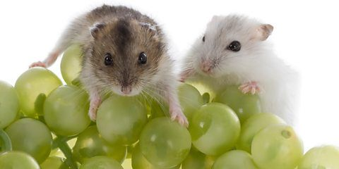 11. Ouch The male Siberian hamster's testes swell up to 17 times bigger than normal in Autumn