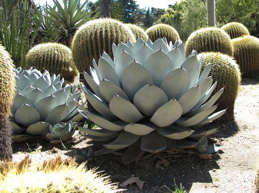 Descriptions of Agave parryi IB184:   The Desert Northwest, Sequim, Washington.  One of the best known hardy Agaves, this species needs little introduction. It is one of the most attractive species, forming tight rosettes of numerous blue grey to silvery, stout leaves tipped with black spines. The rosettes are usually solitary, sometimes forming a few offsets, and reach about 3' across. It is very tough and tolerant of rain and cold, and has grown to...