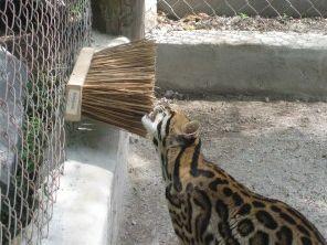 Broom Big Cat Enrichment