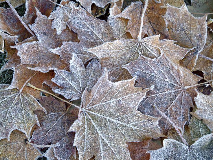 Frozen Oak leaves on the ground