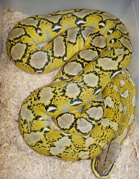 1000+ images about Reticulated Pythons on Pinterest | Home ...