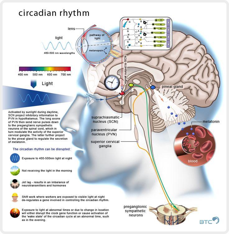 Circadiaans ritme