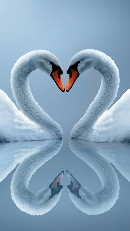 Swans Couple Heart