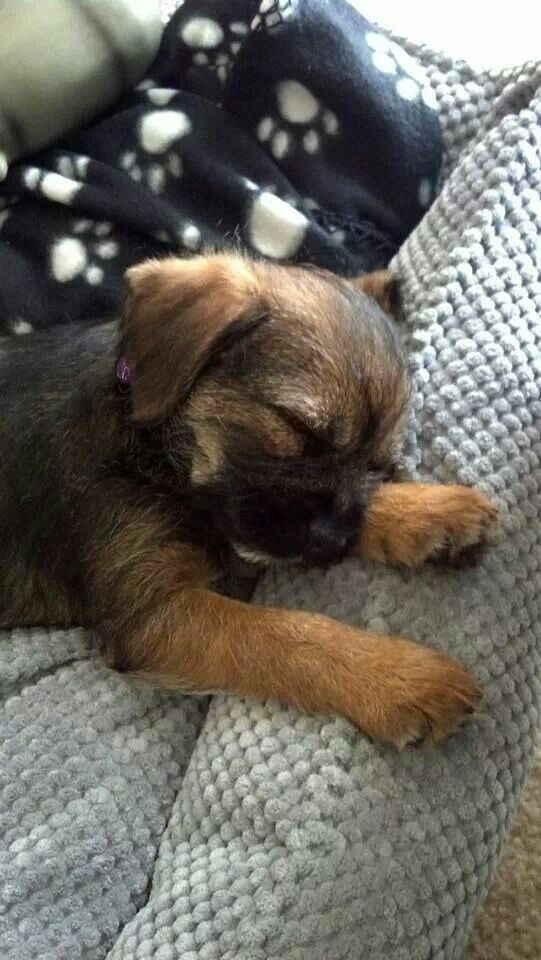 Beautiful Sleeping Border Terrier Puppy!