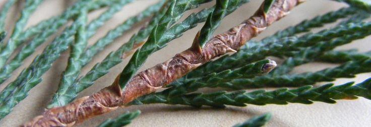 Plant Ident - x Cuprocyparis leylandii