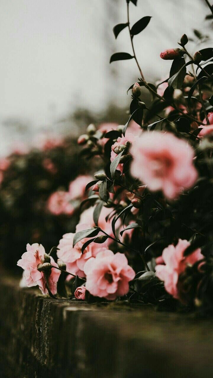 Pink Flowers Love Flowers Photography Flower Wallpaper Photography Wallpaper