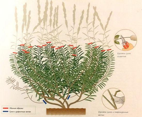 Как вырастить лаванду, выбираем семена и посадочный материал,