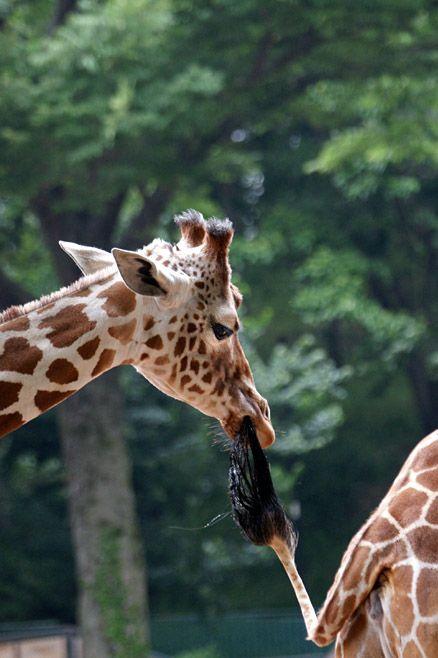 Funny Giraffes #giraffes, #cute, #bestofpinterest, https://facebook.com/apps/application.php?id=106186096099420