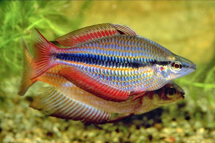 188 best austrailian rainbowfish images on pinterest for Rainbow fish care