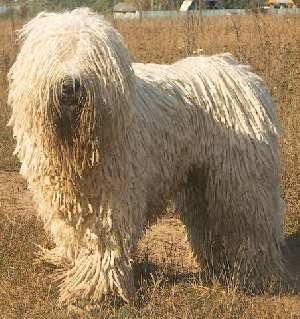 25 Best Ideas About Komondor On Pinterest Mop Dog