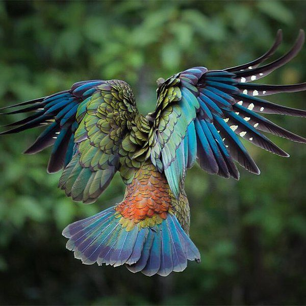 Majestic Kea in Flight, New Zealand - Photograph by Kale Org. In love with these parrots