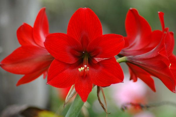 Amaryllis is one of the easiest flowering plants to grow indoors. Amaryllis kits come with the bulb, soil and pot - everything you need to grow one and ready to bloom.They require direct, natural light, but don't put them directly in front of a window where it will be exposed to drastic temperatures through the winter.