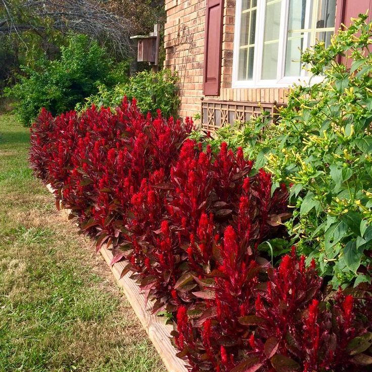 Dragon S Breath Celosia The Perfect Landscape Plant For That Wow Factor Flower Landscape Dragons Breath Plant Planting Flowers