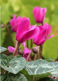 Alpenveilchen violett