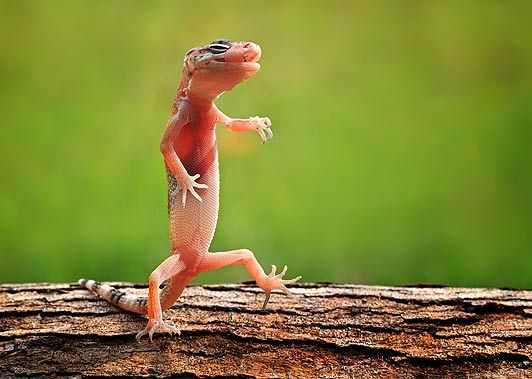 Best Beautiful Lizards Images On Pinterest Iguanas Lizards - Majestic dragon lizard caught playing leaf guitar indonesia