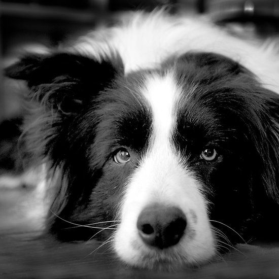 Border collie..oh, I know that look! lol