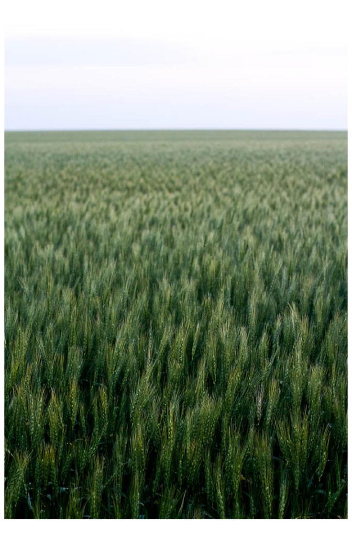 2012-07-04_015  A gorgeous wheat field. photo via @jenlynndewey
