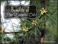 Pine Needles - Benefits of Pine and Pine Essential Oil