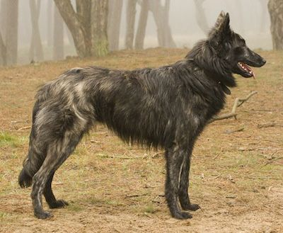 Kyara Hasse vd Dorestee (Mira) the Dutch Shepherd at almost 8 months old. Courtesy of Heleen Klinkenberg.