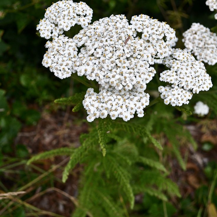 Yarrow is perhaps best known for its wound healing properties. Yarrow was used from the time of the Ancient Greeks up until the First World War to treat wounds, thus its common names soldiers' woundwort, staunch weed, nosebleed, woundwort, and carpenter's weed. No first aid kit is complete without yarrow for use as an antiseptic and styptic (stops bleeding). Yarrow is also antibacterial, anti-inflammatory, astringent, and analgesic, making it ideal for preventing infection, stopping blood…