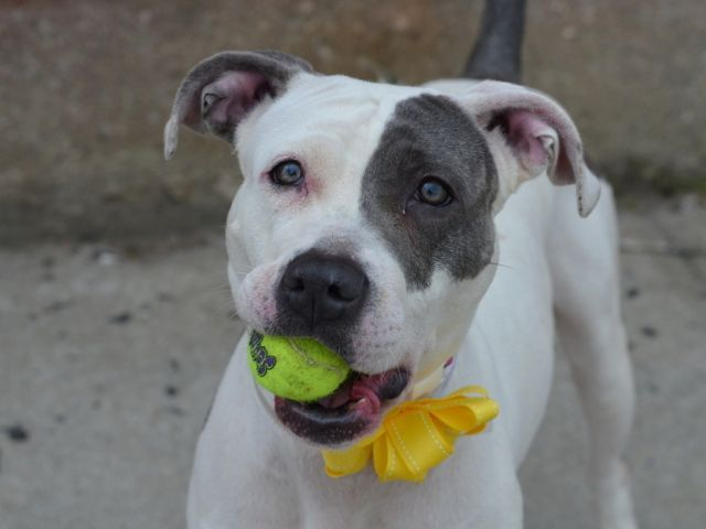 GONE 5-22-2015 --- Brooklyn Center LIL DEBBIE – A1035911 FEMALE, WHITE / GRAY, AM PIT BULL TER MIX, 2 yrs STRAY – STRAY WAIT, NO HOLD Reason STRAY Intake condition UNSPECIFIE Intake Date 05/11/2015
