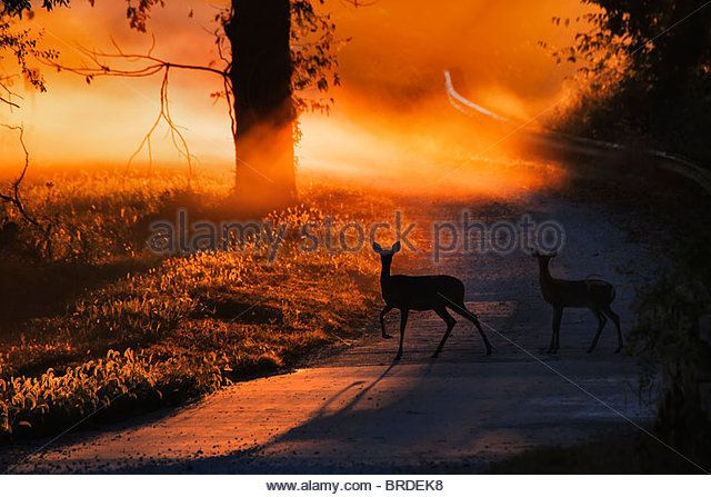 Doe and Fawn White Deer Crossing a Country road at sunrise - Imagen de archivo
