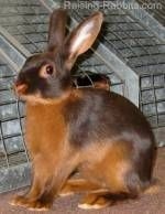 Rabbit Mating - tips, tricks and pics for ensuring successful rabbit breeding and large litters of bunnies
